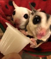 Sugar Glider Animals for sale in 19681 Stern Ln, Huntington Beach, CA 92648, USA. price: NA