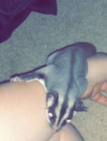 Sugar Glider Animals for sale in Rowlett, TX, USA. price: NA