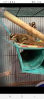Sugar Glider Animals for sale in Nederland, TX 77627, USA. price: NA