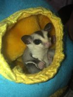 Sugar Glider Animals for sale in Shoreview, MN 55126, USA. price: NA