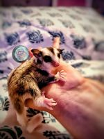 Sugar Glider Animals for sale in Texas City, TX, USA. price: NA