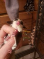 Sugar Glider Animals for sale in Albuquerque, NM, USA. price: NA