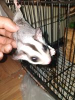 Sugar Glider Animals for sale in Dover, NJ, USA. price: NA