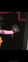 Sugar Glider Animals for sale in Maplewood, MO, USA. price: NA