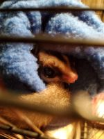 Sugar Glider Animals for sale in Mooresville, IN, USA. price: NA