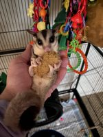 Sugar Glider Animals for sale in Kingwood Dr, Houston, TX, USA. price: NA