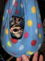 Sugar Glider Animals for sale in Miami, FL, USA. price: NA