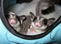 Sugar Glider Animals for sale in Newark, NJ, USA. price: NA