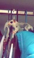 Sugar Glider Animals for sale in Anchorage, AK 99503, USA. price: NA