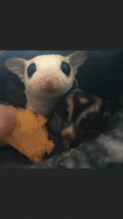 Sugar Glider Animals for sale in Asher, OK 74826, USA. price: NA