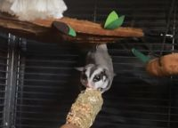Sugar Glider Animals for sale in New Haven, CT, USA. price: NA