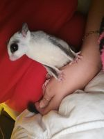 Sugar Glider Animals for sale in Galloway, OH 43119, USA. price: NA