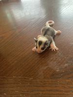 Sugar Glider Animals for sale in Houston, TX, USA. price: NA