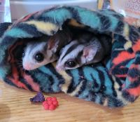 Sugar Glider Animals for sale in Fort Plain, NY 13339, USA. price: NA