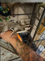 Sugar Glider Rodents for sale in Payson, AZ 85541, USA. price: NA