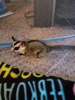 Sugar Glider Animals for sale in Indianapolis, IN, USA. price: NA