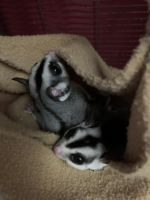 Sugar Glider Animals for sale in Midland, MI, USA. price: NA