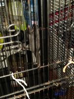 Sugar Glider Animals for sale in Walhalla, SC 29691, USA. price: NA
