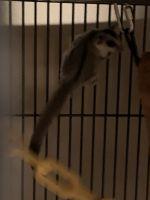 Sugar Glider Animals Photos