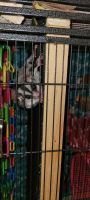 Sugar Glider Animals for sale in Yonkers, NY 10701, USA. price: NA