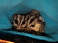 Sugar Glider Animals for sale in Baker City, OR 97814, USA. price: NA