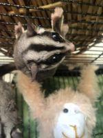 Sugar Glider Animals for sale in Swansboro, NC, USA. price: NA