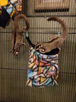 Sugar Glider Animals for sale in Rockwall, TX, USA. price: NA