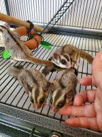 Sugar Glider Animals for sale in 200 Thistledown Ct, Pearl River, LA 70452, USA. price: NA