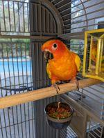 Sun Conure Birds for sale in Lithia, FL, USA. price: NA