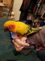Sun Conure Birds for sale in Coeur d'Alene, ID, USA. price: NA