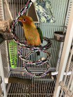 Sun Conure Birds for sale in Lake Park, FL, USA. price: NA