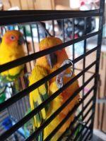 Sun Conure Birds for sale in Sunnyvale, CA, USA. price: NA