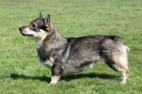 Swedish Vallhund Puppies for sale in OR-99W, McMinnville, OR 97128, USA. price: NA