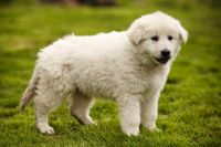 Swiss Shorthaired Pinscher Puppies Photos