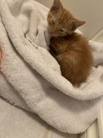 Tabby Cats for sale in Copperas Cove, TX, USA. price: NA