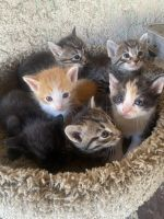 Tabby Cats for sale in La Habra, CA 90631, USA. price: NA