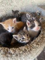 Tabby Cats Photos