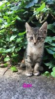 Tabby Cats for sale in Portland, OR, USA. price: NA