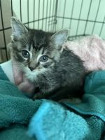 Tabby Cats for sale in 834 Mallside Forest Court, Charlottesville, VA 22901, USA. price: NA