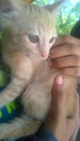 Tabby Cats for sale in Houston, TX, USA. price: NA