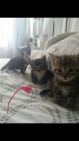 Tabby Cats for sale in Syracuse, NY, USA. price: NA