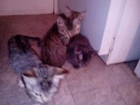 Tabby Cats for sale in Arlington, TX, USA. price: NA