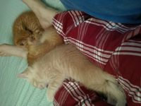 Tabby Cats for sale in Nashville, TN, USA. price: NA