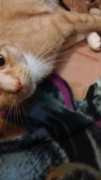 Tabby Cats for sale in Greensburg, PA 15601, USA. price: NA