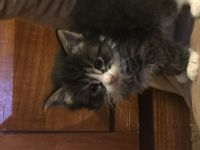 Tabby Cats for sale in Fremont, CA, USA. price: NA