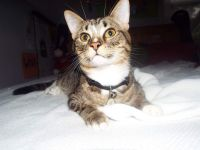 Tabby Cats for sale in Holland, MI 49423, USA. price: NA