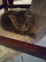 Tabby Cats for sale in Orlando, FL, USA. price: NA