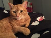 Tabby Cats for sale in Pennsburg, PA 18073, USA. price: NA