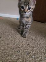 Tabby Cats for sale in Hubert, NC 28539, USA. price: NA