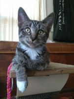 Tabby Cats for sale in Lapeer, MI 48446, USA. price: NA